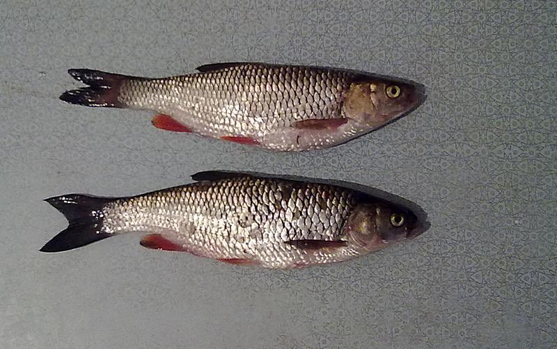 Два голавля пойманные на воблер ZipBaits Rigge 35F