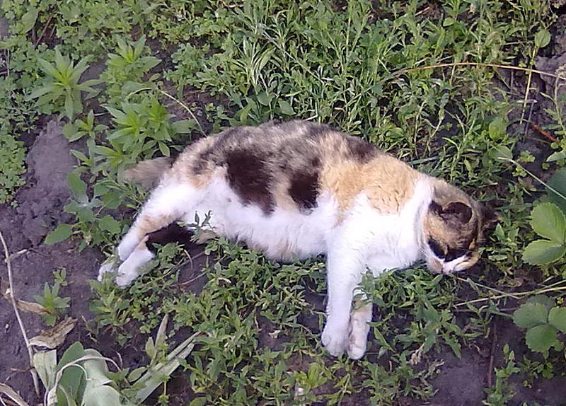 Объевшаяся рыбой кошка спит