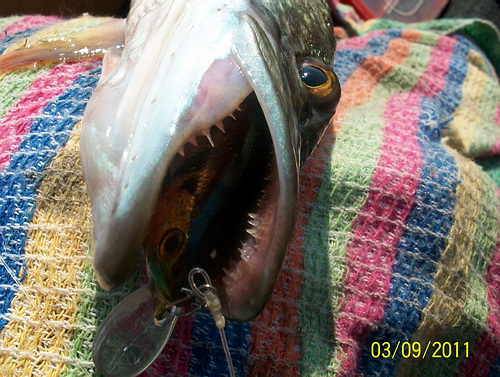 Флюорокарбон устойчив к щучьим зубам